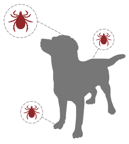 Ticks latch onto dogs around their ears and between toes.
