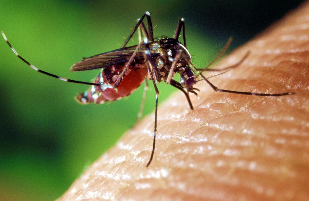 Mosquito feeding on human skin